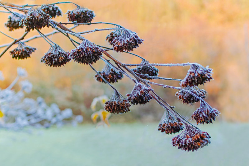 Frosty Seed Pods