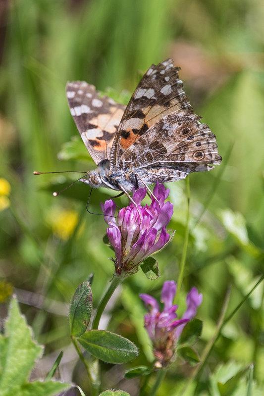 Butterfly in the Armentara Meadow