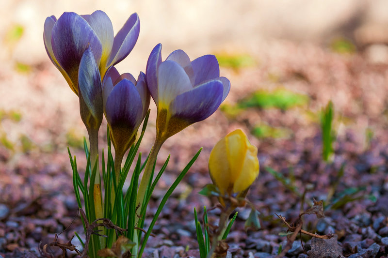 Fresh Crocus Quartet