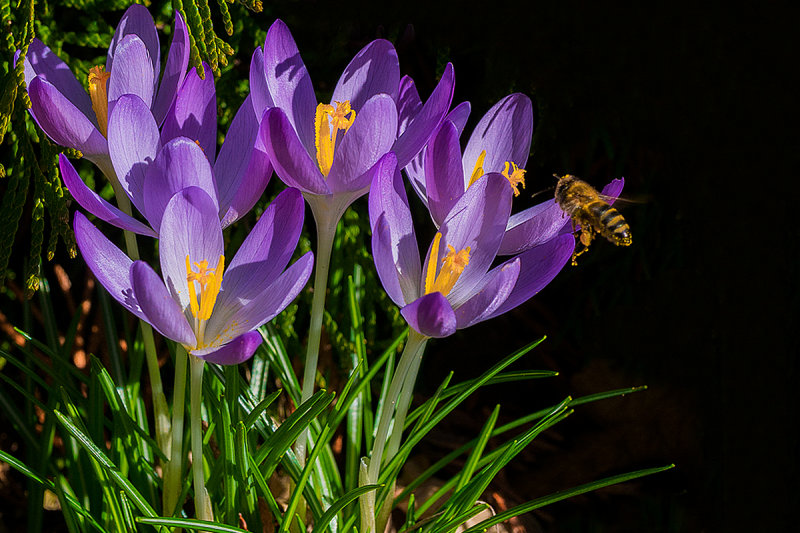 New Crocus and Visitor