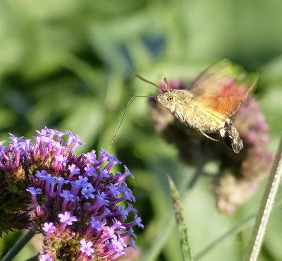 Hummingbird hawk-moth in my garden