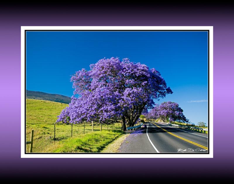 Jacaranda #7  (RD-457) Explosion of color as a Jacaranda tree blooms along the highway