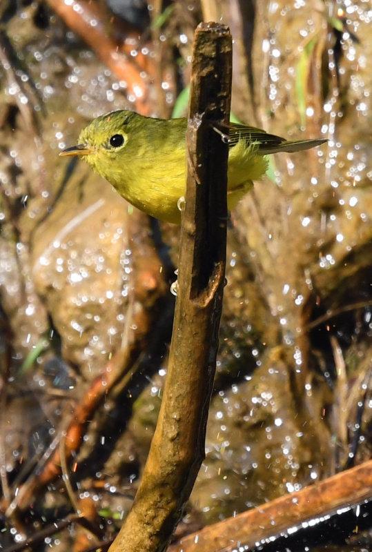 Golden-spectacled warbler