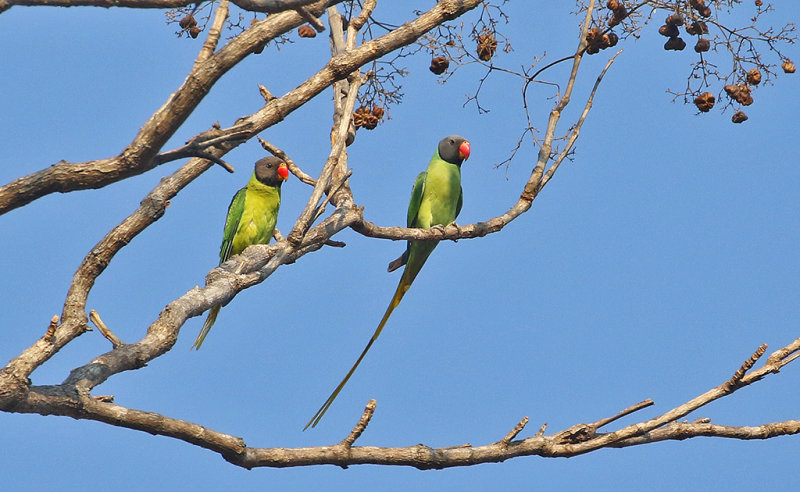 Grey-headed Parakeets
