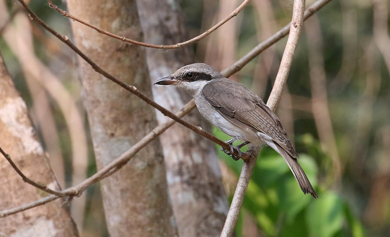 Large Wood-Shrike