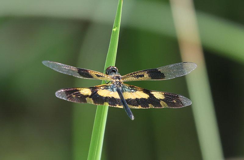 Variegated flutterer aka Common Picturewing,  Rhyothemis variegata