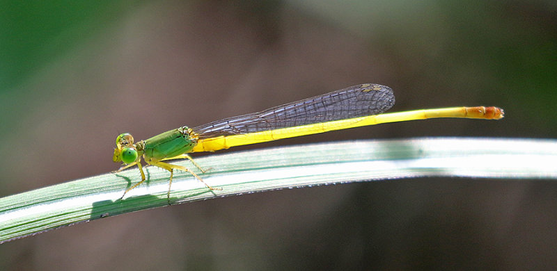 Ceriagrion indochinense - male