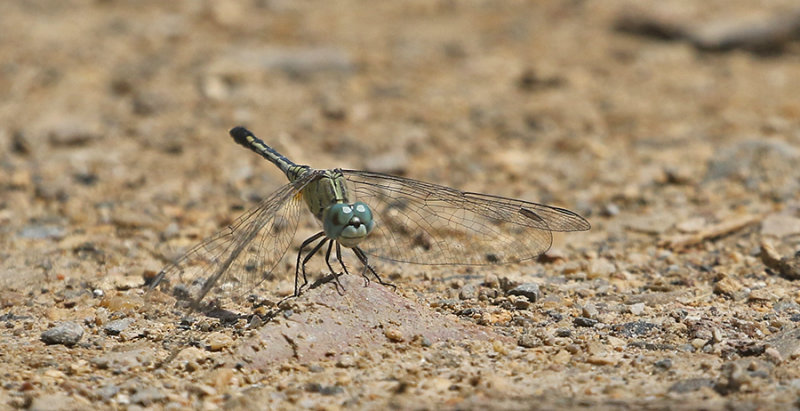 Chalky Percher Diplacodes trivialis