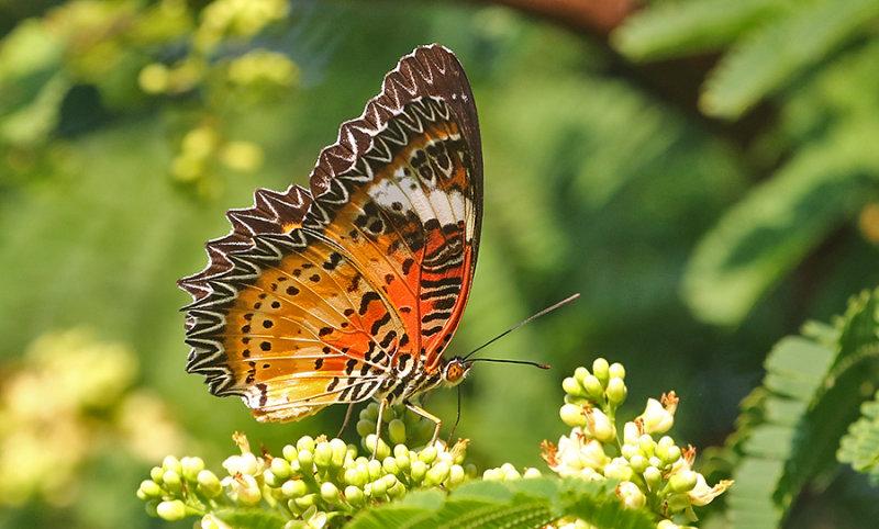 Leopard Lacewing Butterfly Cethosia cyane