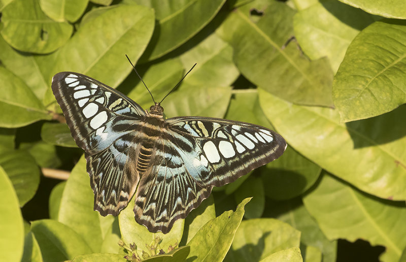 Clipper Parthenos sylvia