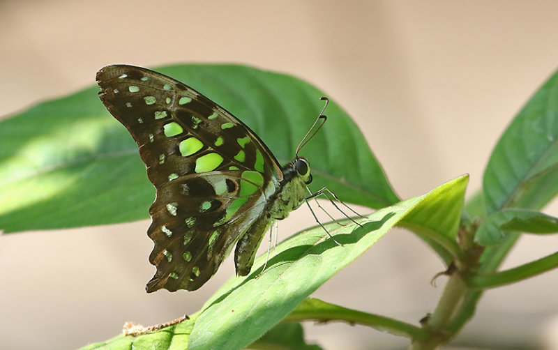 Tailed Jay Graphium agamemnon