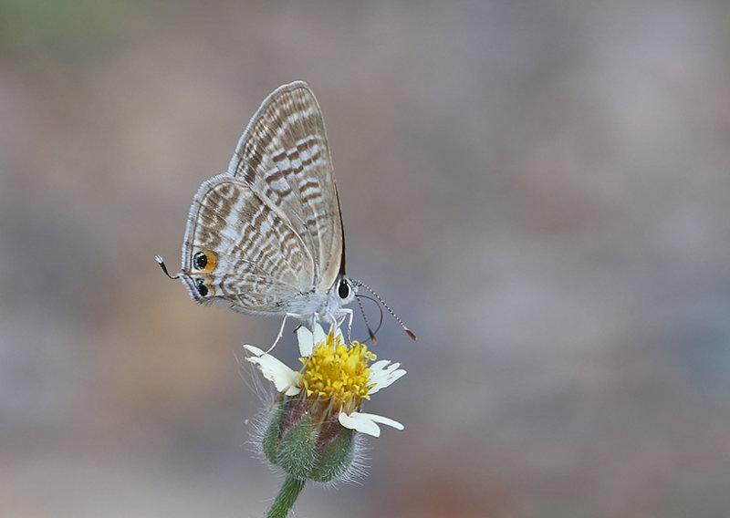 Pea Blue Lampides boeticus