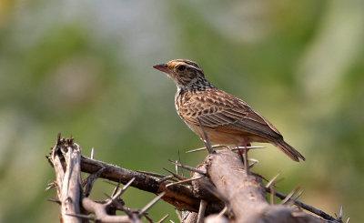 Indo-chinese Bushlark