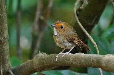 Rufous-browed Flycatcher