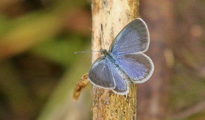 Lesser Grass Blue (Zizina otis)