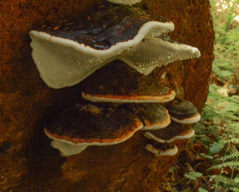 Fomitopsis mounceae
