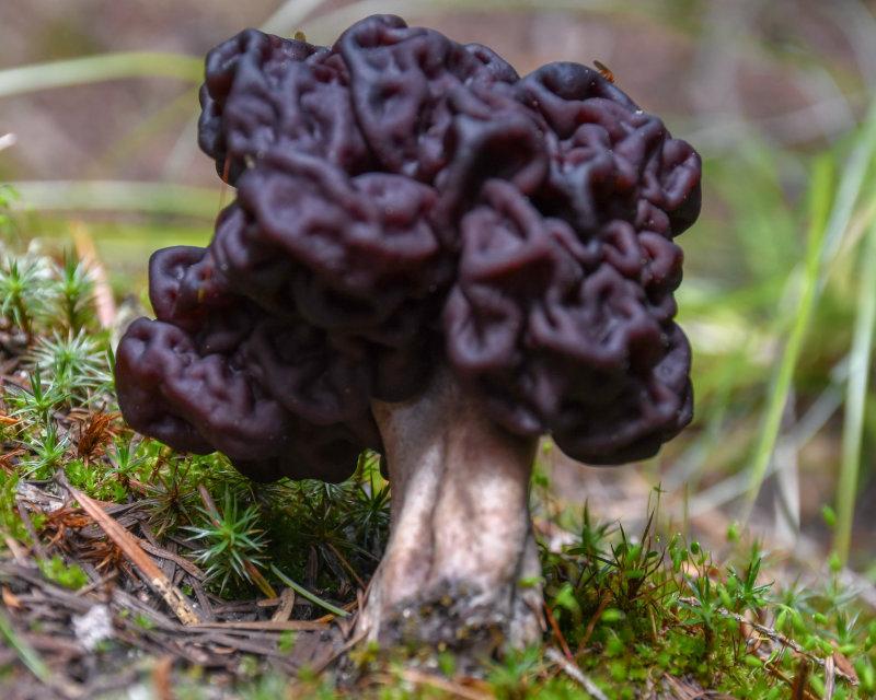 Gyromitra esculenta