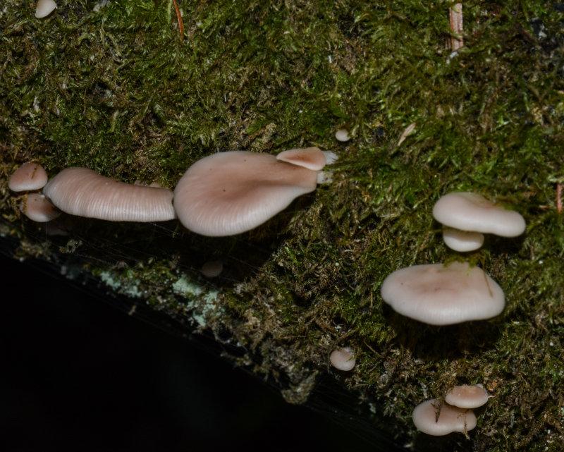 Pleurotopsis longinqua