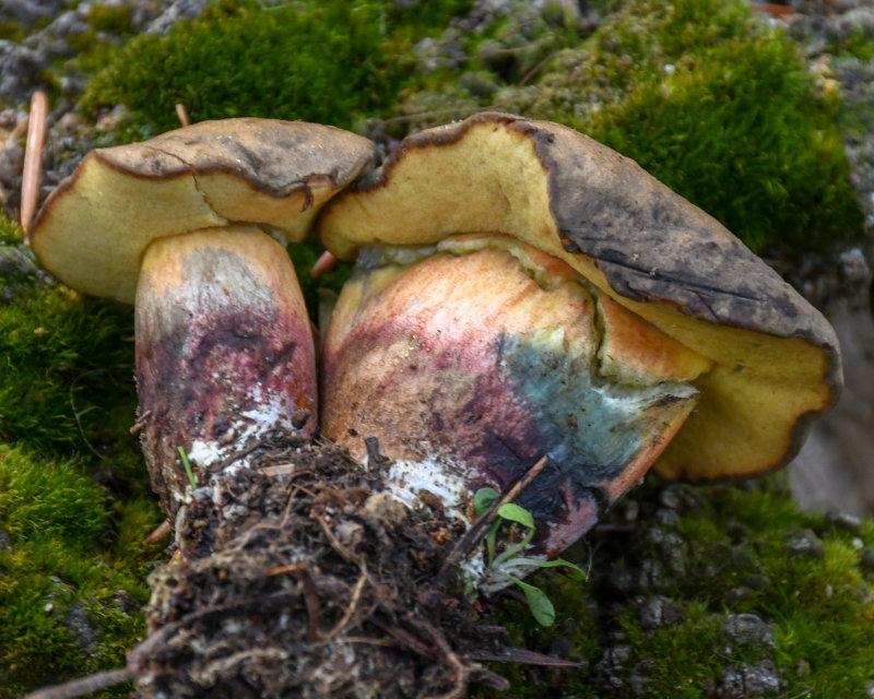 Caloboletus rubripes
