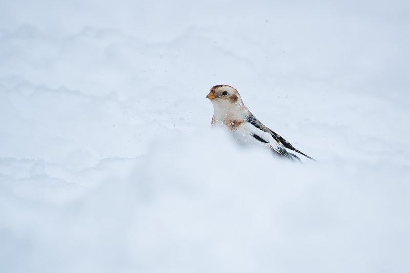 Plectrophane des neiges / Snow Bunting (Plectrophenax nivalis)