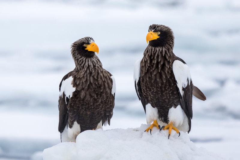 Stellers Sea-eagle<br><i>(Haliaeetus pelagicus)</i>