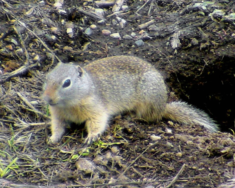 Wyoming Ground Squirrel - Spermophilus elegans