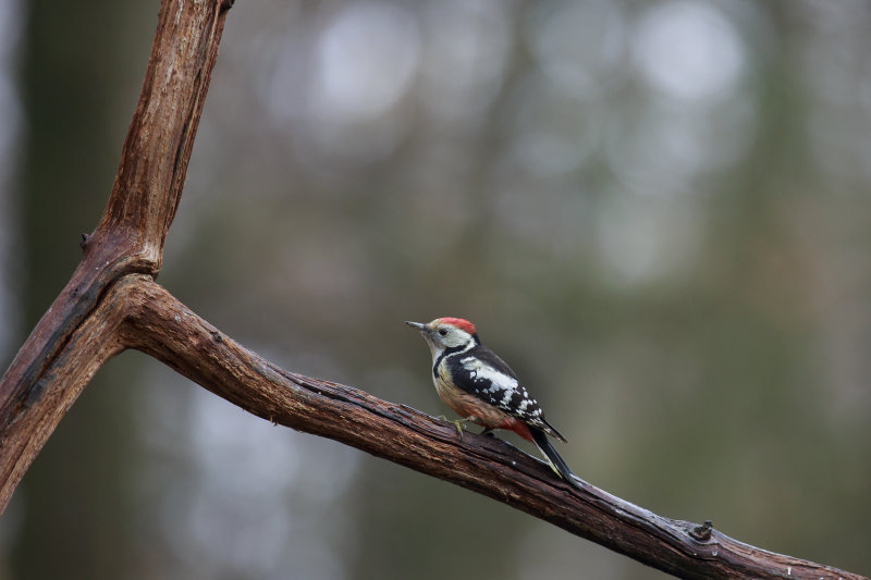 2N9B4983 middle spotted woodpecker