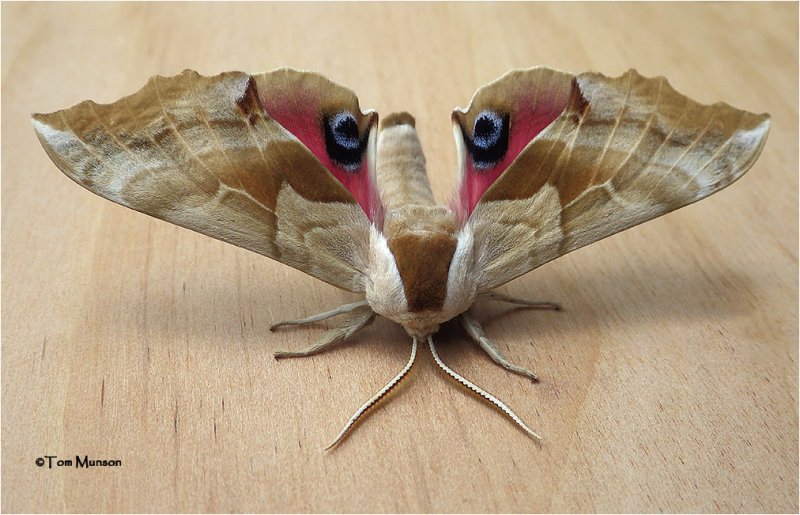 Smerinthus ophthalmica-One-eyed Sphinx Moth