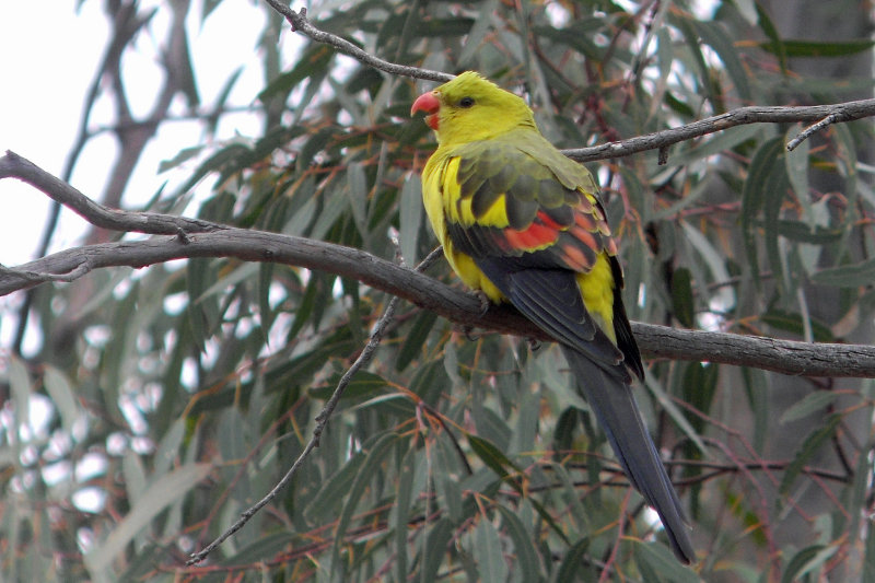 Regent Parrot