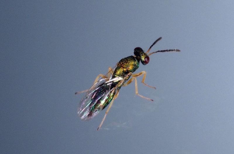 Pteromelidae.jpg