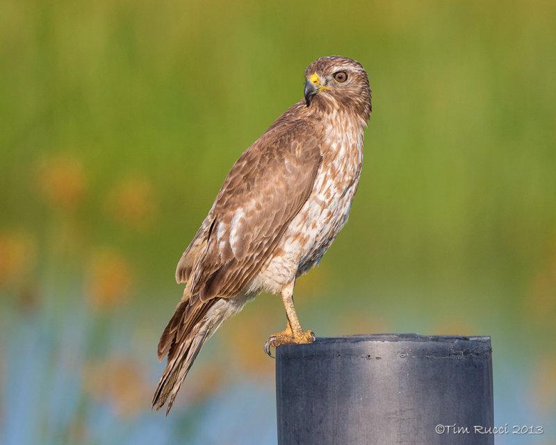 1DX_2971 - Juvenile Red Shoulder Hawk