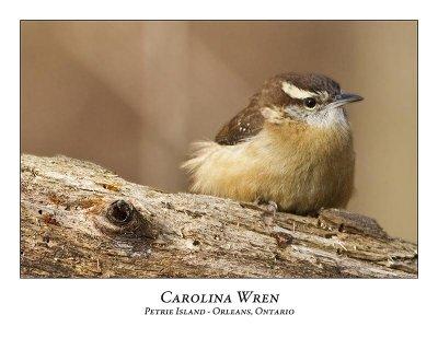 Carolina Wren-002