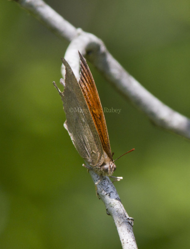 Goatweed Leafwing _MG_0840.jpg