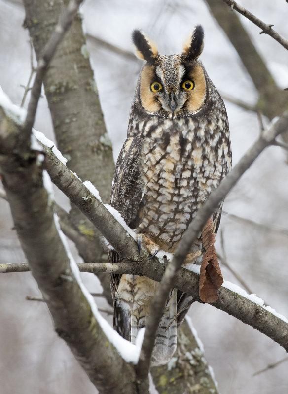 Long-eared Owl 0198