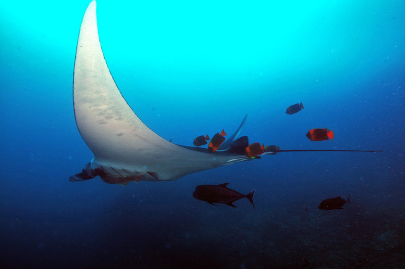 Manta Ray in a cleaning station