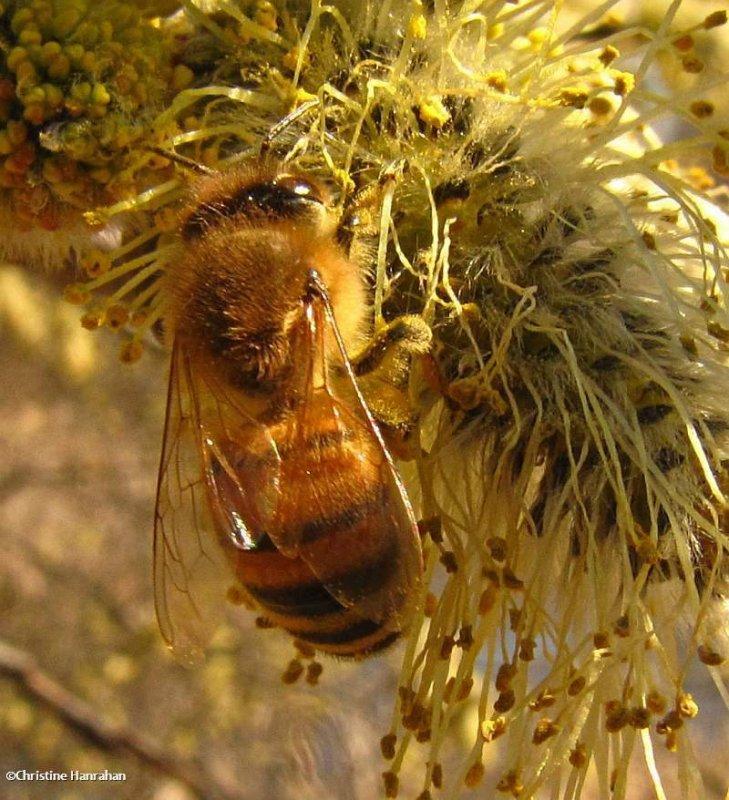 Honey bee on willow (<em>Apis mellifera</em>)