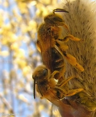 Andrenid bees, mating on a willow catkin