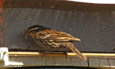 Red-winged blackbird, female