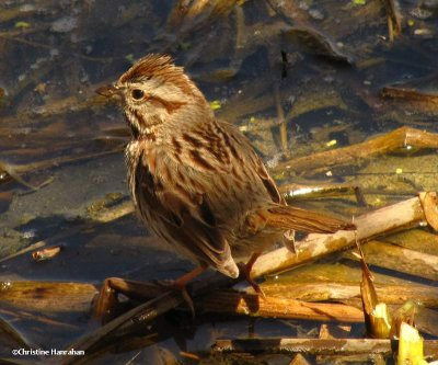 Song sparrow at pond