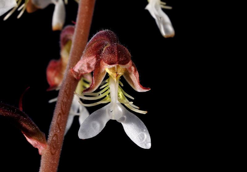 Anoectochilus formosanus, flower 1¾ cm