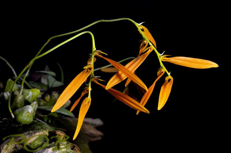 Bulbophyllum wallichii, often terrestrial on sandstone with Phalaenopsis pulcherrima