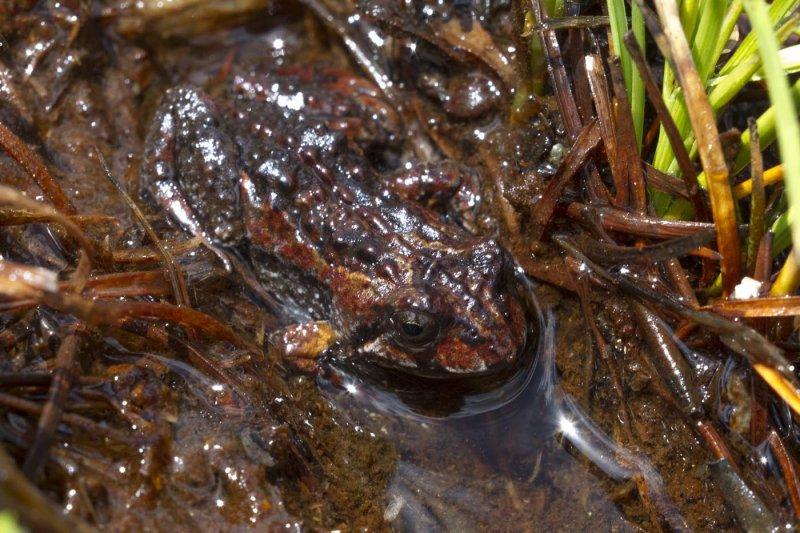 Tasmanian Froglet
