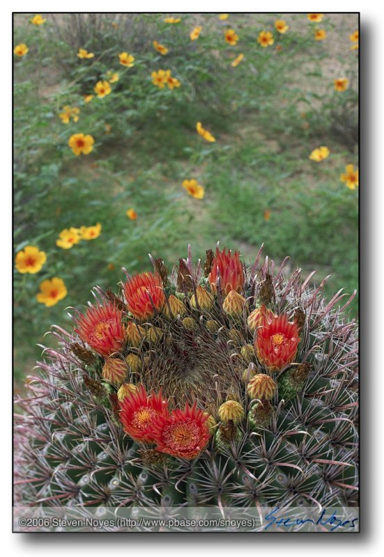 Barrel Cactus  (Ferocactus Wislizenii) with Summer Poppy