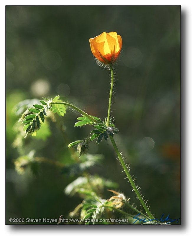 Early Backlight Poppy