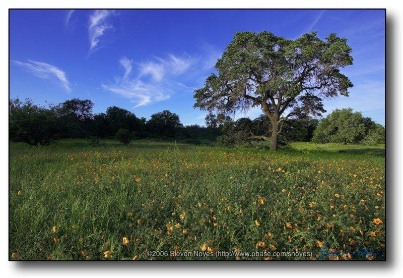 Arizona : Morning Oak with Poppy