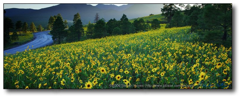 Northern AZ : Field of Brown Eyed Susan flowers