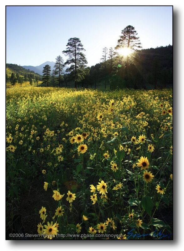 Northern AZ : Brown Eyed Susans, Backlit