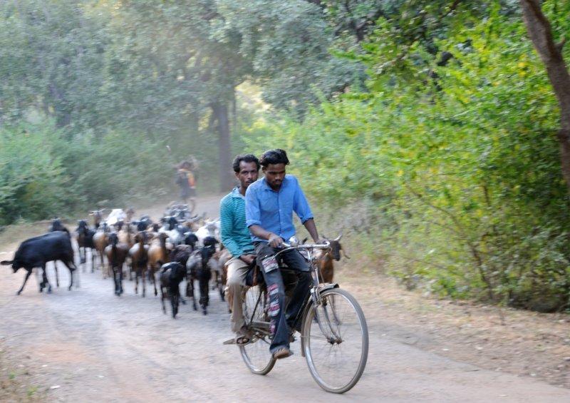 0136 Goats amok upon da road.jpg