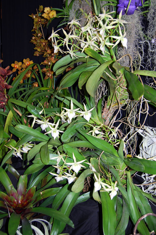 20132763  -   Angraecum  sesquipedale  Frosty  CCM/AOS  (88 - points)  3-2-2013.jpg