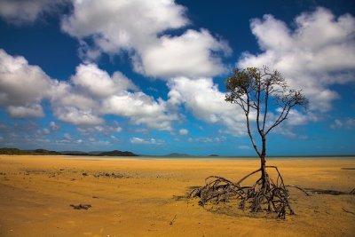 Mangrove at Cape York Australia